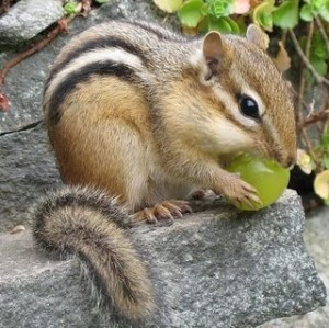 chipmunkwithgrape