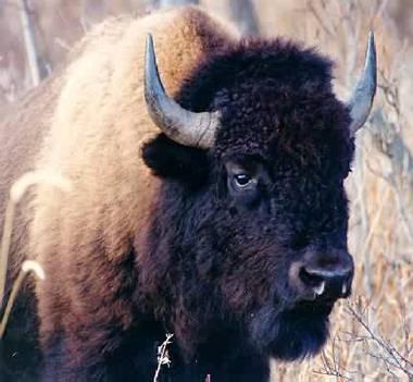 Le bison européen élit domicile dans une ex-zone militaire tchèque
