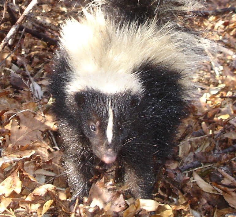 skunk771.jpg