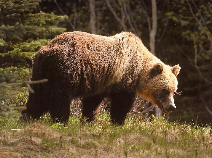 external image 548grizzly-bear.jpg