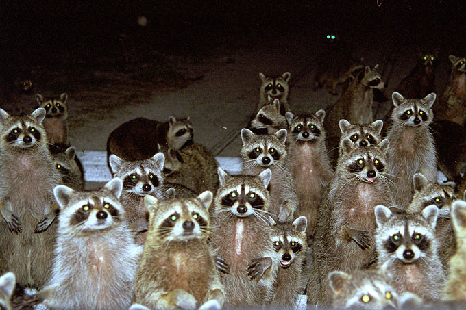 https://naturalunseenhazards.files.wordpress.com/2010/09/raccoons.jpg?w=680&h=453