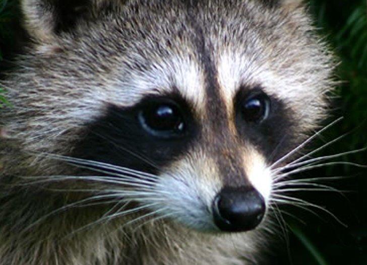 Raccoons terrorizing, attacking people in Oregon, Florida ... Raccoon Face