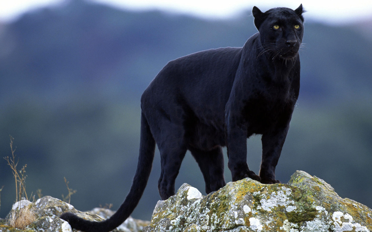 Panther sighting reported in