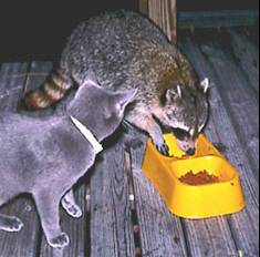 Can Raccoon Distemper Be Transmitted To Dogs And Cats