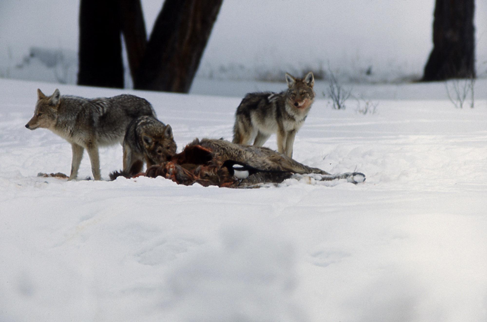 Wunderbar Kojote Küche Boone Bilder - Küchenschrank Ideen ...
