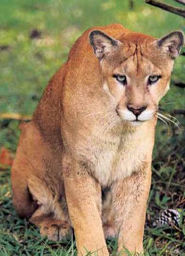 florida panthers animal. the Florida panther became