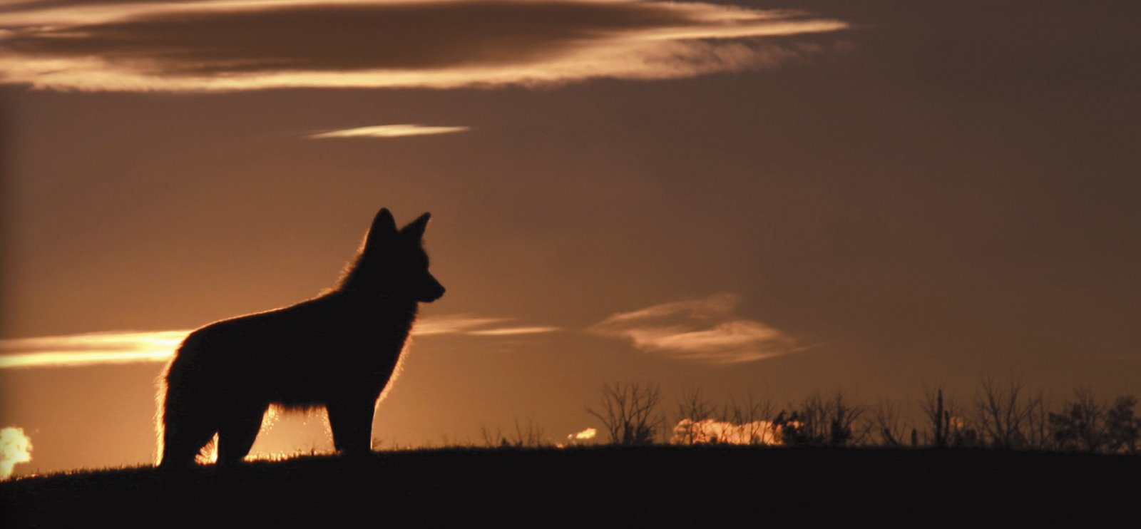 "an introduction to the nature of the coyote Unlike wolves and bison, coyotes survived multimillion-dollar north american   even employing biological warfare with the introduction of sarcoptic mange  "" you need to know your coyote natural history, like when they are."
