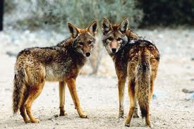 Image result for image of a coyotes in oregon