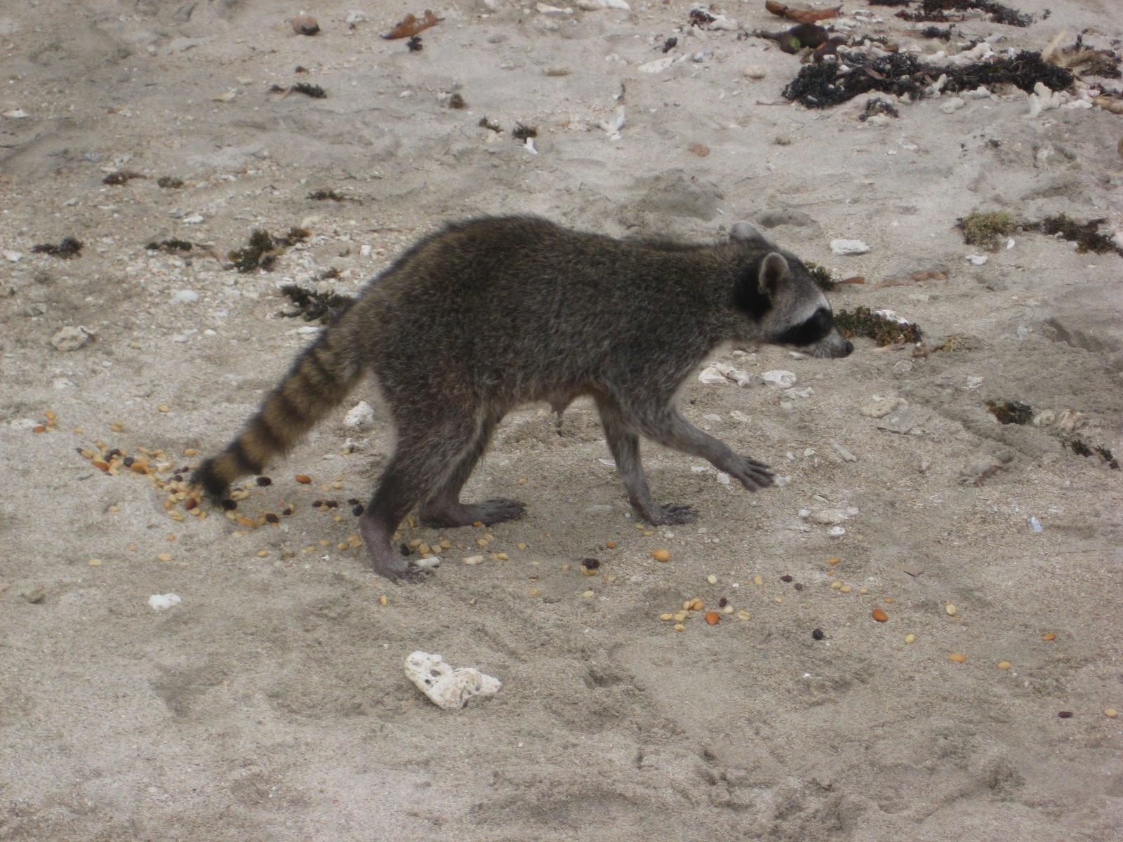 raccoon with rabies jpg MEMES Raccoon With Rabies Foaming
