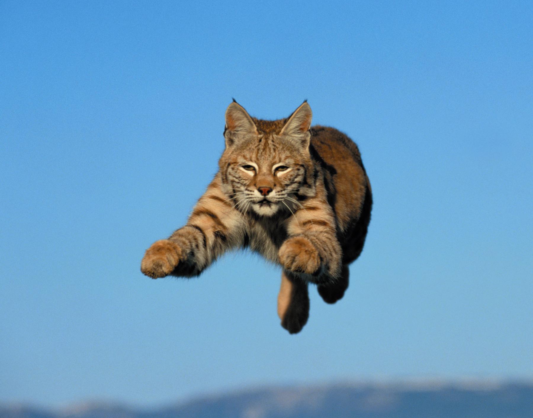 Bobcat pet - photo#13
