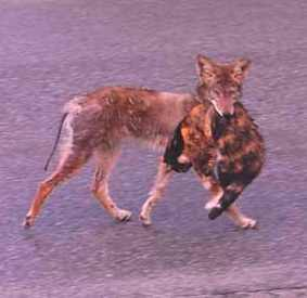 Coyote Eating Cat