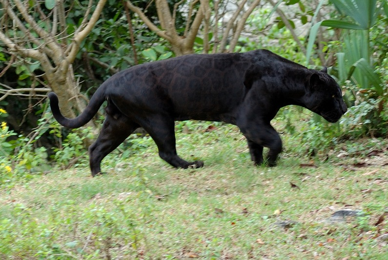 Jaguar Pantaneiro VS Leoa do Serengeti Flickr-2217331737-image