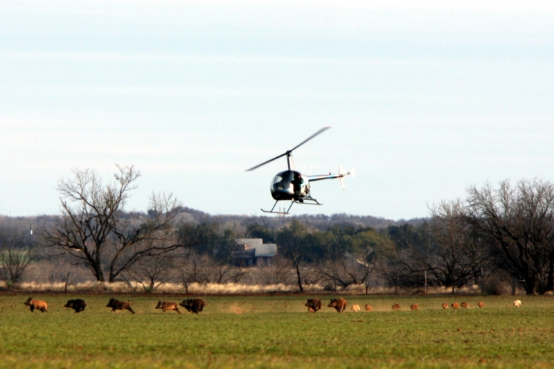hog hunting by helicopter in texas with Texas Legislature Considers Permits To Hunt Feral Hogs And Coyotes From Helicopters Baltimore Md City Council Will Consider Permits To Hunt Deer In County Parks Middletown Ri Town Council Votes on Watch together with Recreation Leisure besides Lwrc Razorback 6 8spc as well Heli Hog as well Death From Above Helicopter Hog Hunting In Texas.