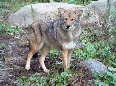 North Carolina toddler attacked by Coyote Hybrid; Alaska ...