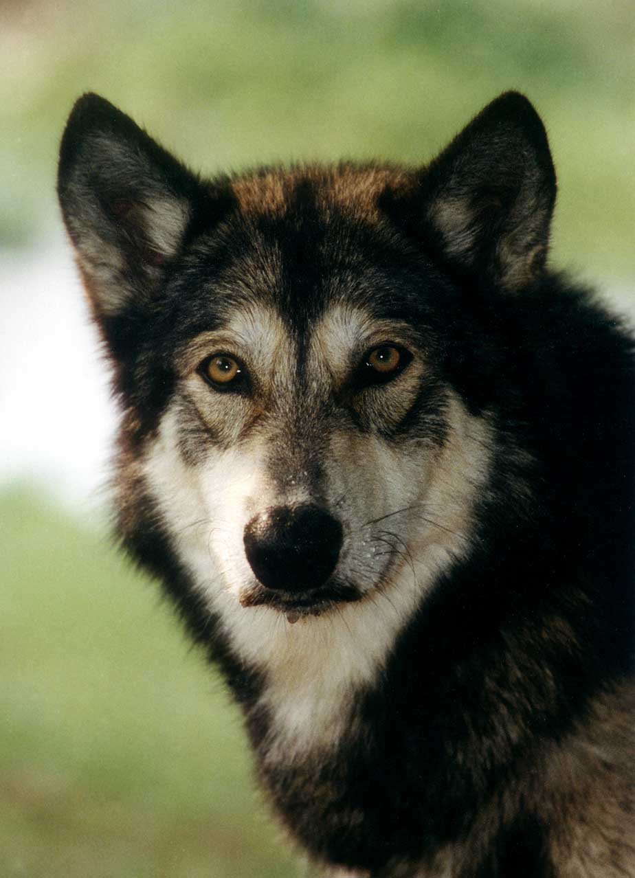 Wolf hybrid puppies for sale in ohio - Alaska