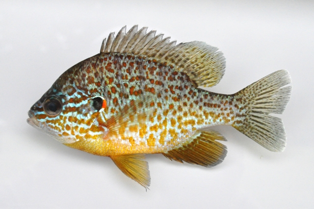 pumpkinseed sunfish natural unseen hazards blog
