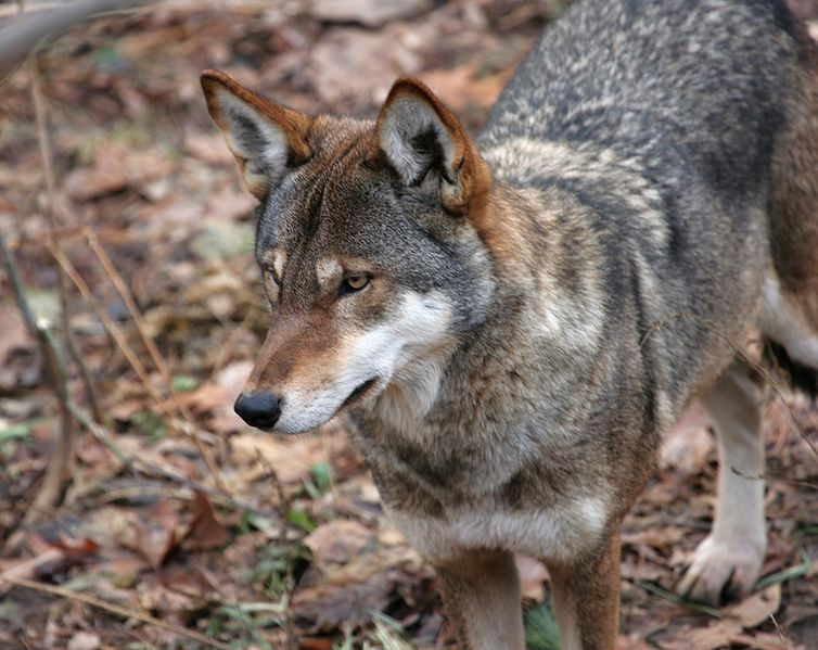 Wolf hybrids | Natural Unseen Hazards Blog