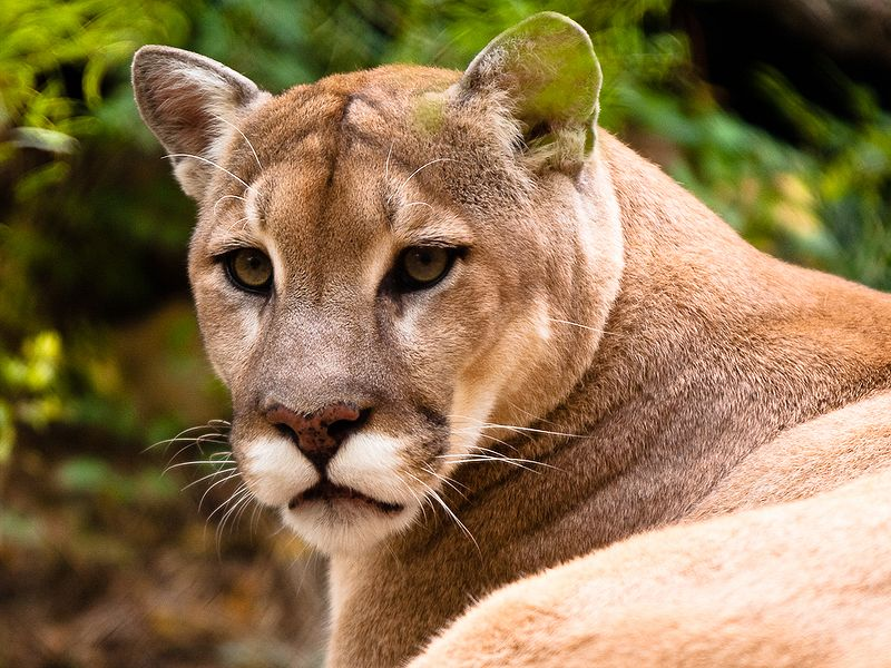 mountain lion killed by vehicle in connecticut came from south dakota california fish game. Black Bedroom Furniture Sets. Home Design Ideas