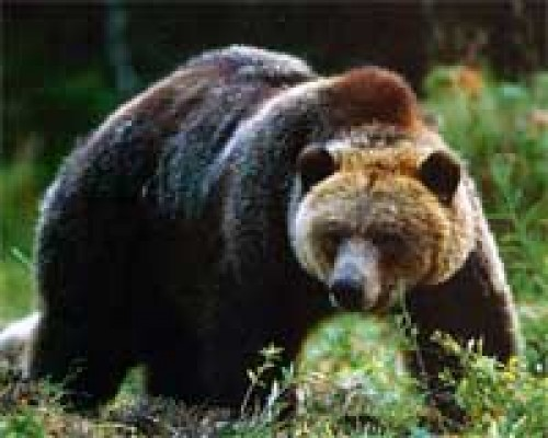 Black bears in Alabama? - montgomeryadvertiser.com