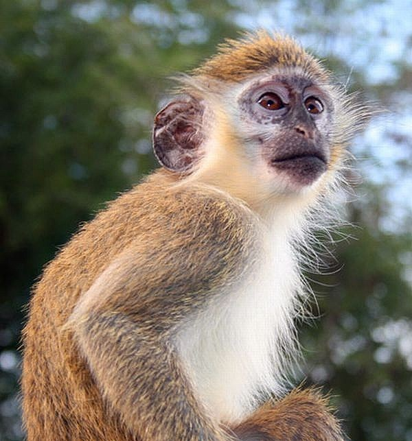 african green monkey natural unseen hazards blog