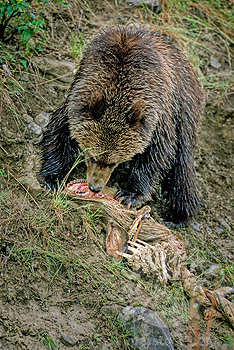 Two montana elk hunters attacked by grizzly wyoming officials
