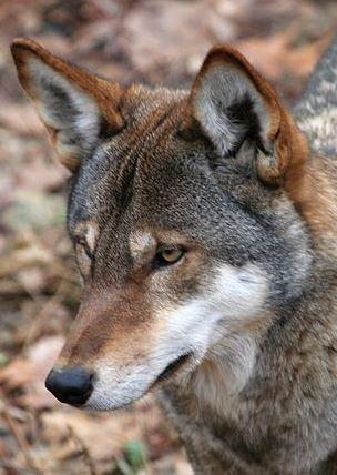COYOTE-WOLF hybrids spread south along U.S. eastern ...