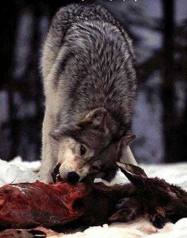 Wolf eating rabbit - photo#8