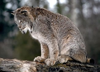 Florida county issues alert after rabid bobcat found in for Washington department of fish and wildlife