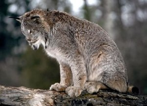 Florida county issues alert after rabid bobcat found in for Department of fish and wildlife washington