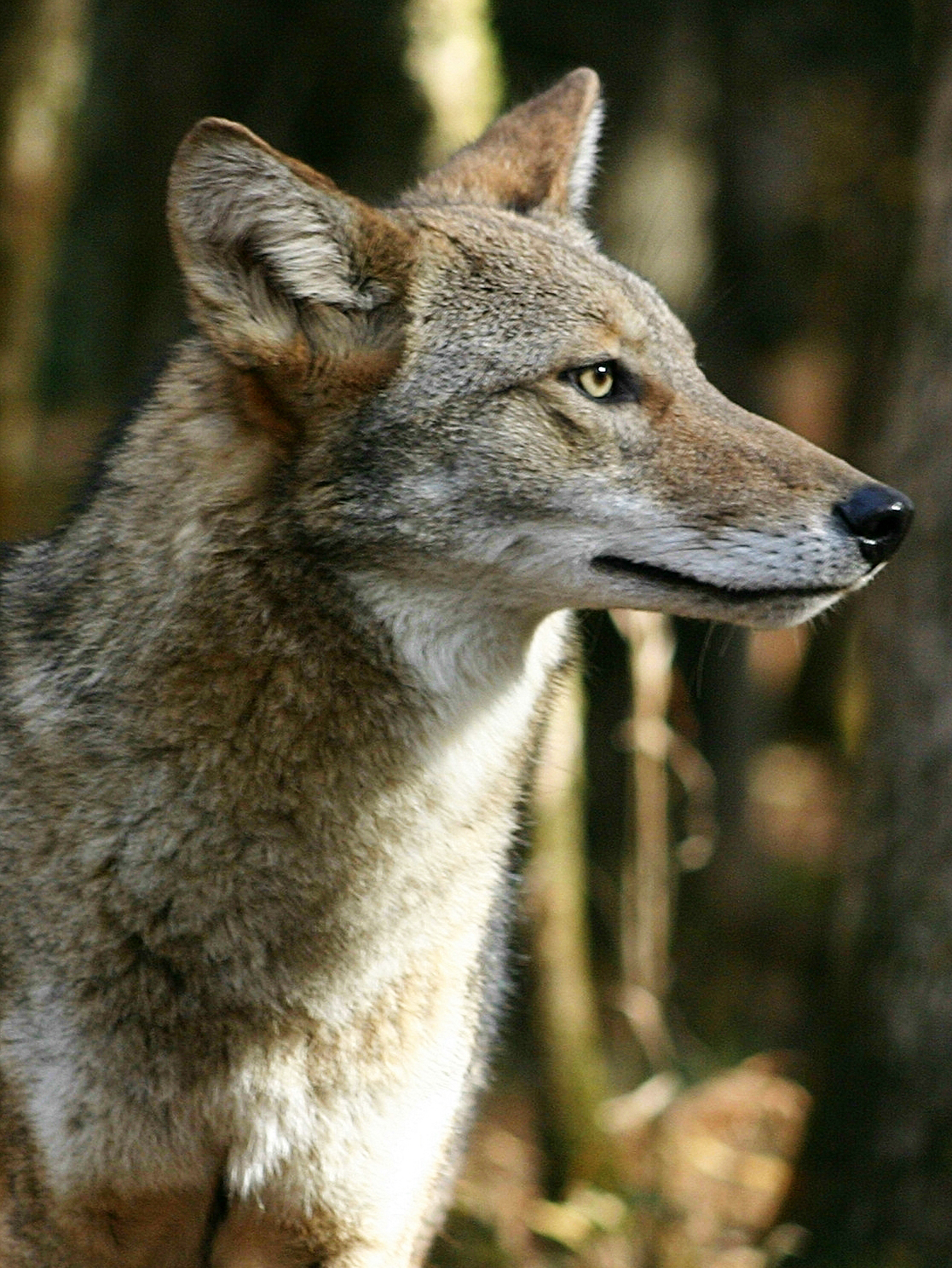 COLORADO jogger attacked by COYOTE ~ CALIFORNIANS say ...