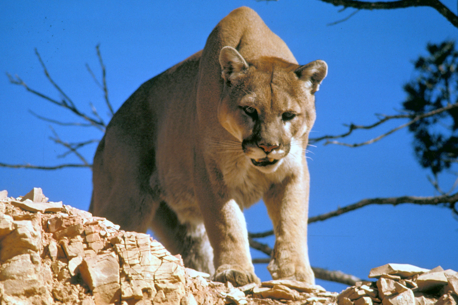 Mountain Lion 7750 Federal agents kill 14...