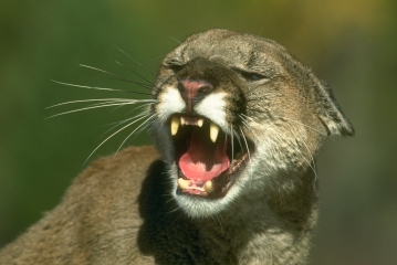 Image result for lyme disease cougars