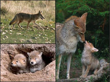 Alabama Biologist Says Coyotes Are Moving Into Exurban Neighborhoods Rabies Reports From