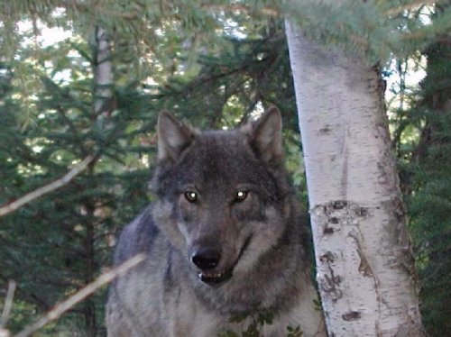 a discussion on wolf hunting Wolves were rescued from the brink of extinction in the 1970s when they gained federal protection under the endangered species act today the american wolf is again in grave danger.