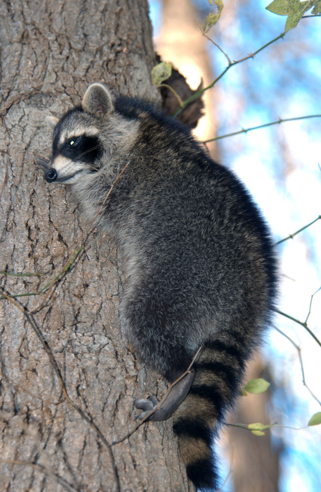raccoon report (ap) — a raccoon that appeared to be stranded on a ledge after climbing more  than 20 stories of a high-rise office building in downtown st.
