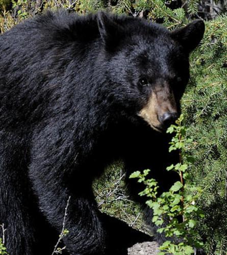 CANADA: BLACK BEAR Swats BRITISH COLUMBIAN Relaxing In Hot