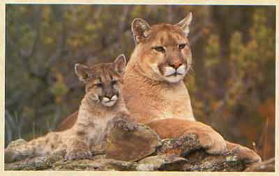 Cute Baby Mountain Lions