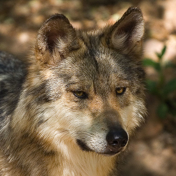 Mexican grey wolf - photo#7