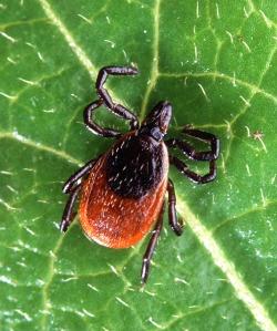 Deer tick. Courtesy CDC.