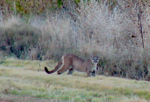 cougars in massachusetts