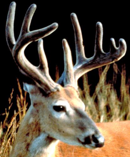 EHD Deer