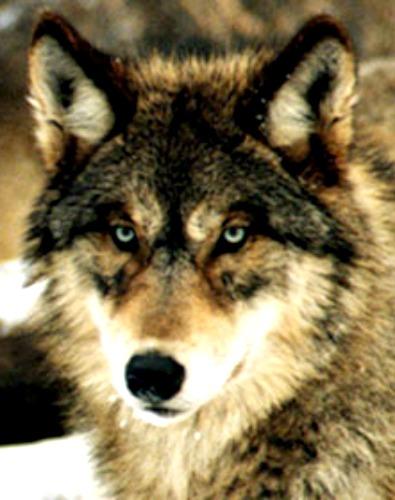Celtic Animal Symbols Hound Wolf Dog