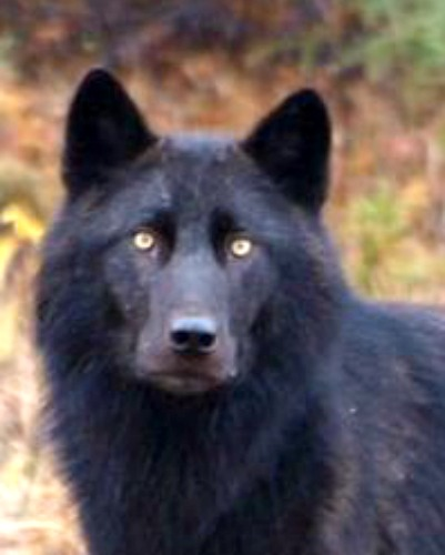 Black wolf. Photo by Bruce McKay. Wikimedia Commons.