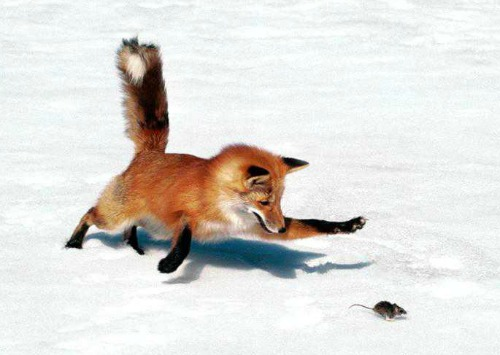 Red fox after mouse. Photo by State of Connecticut.