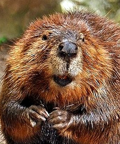 Beaver. Photo by Steve, Wash. D.C., Wikimedia Commons.