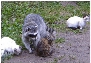 raccoon_cat