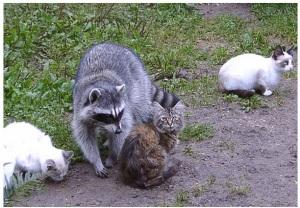raccoon_cat