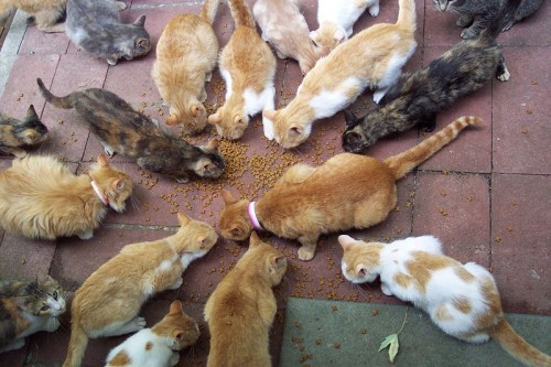 Feral cat colony. Photo by Scott Granneman. Wikimedia Commons.