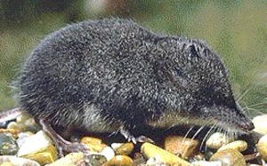 Shrew. Photo by Wisconsin Department of Natural Resources.