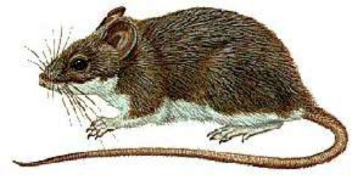 Deer mouse. Image by U.S. Army Medical Department.